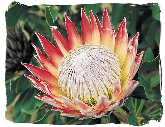 Megérkeztünk Dél-Afrikába - protea, Dél-Afrika egyik szimbóluma